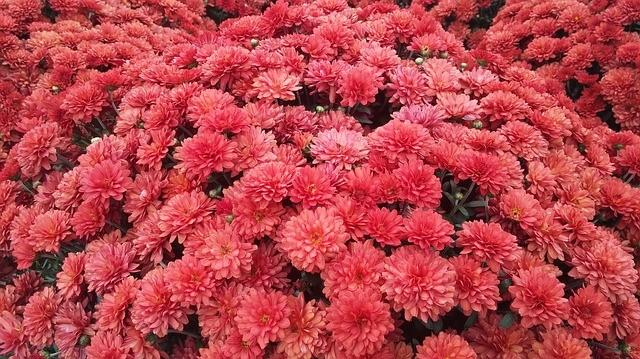 garden_mum_flower