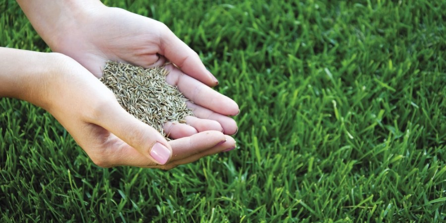 Overseeding helps in ensuring healthy growth of lawns