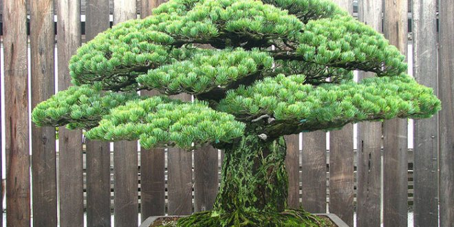 old-Bonsai-Tree