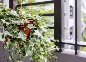 10 luchtzuiverende planten hedera helix
