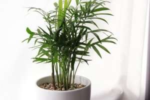 Areca palm goudpalm 10 luchtzuiverende planten hedera helix