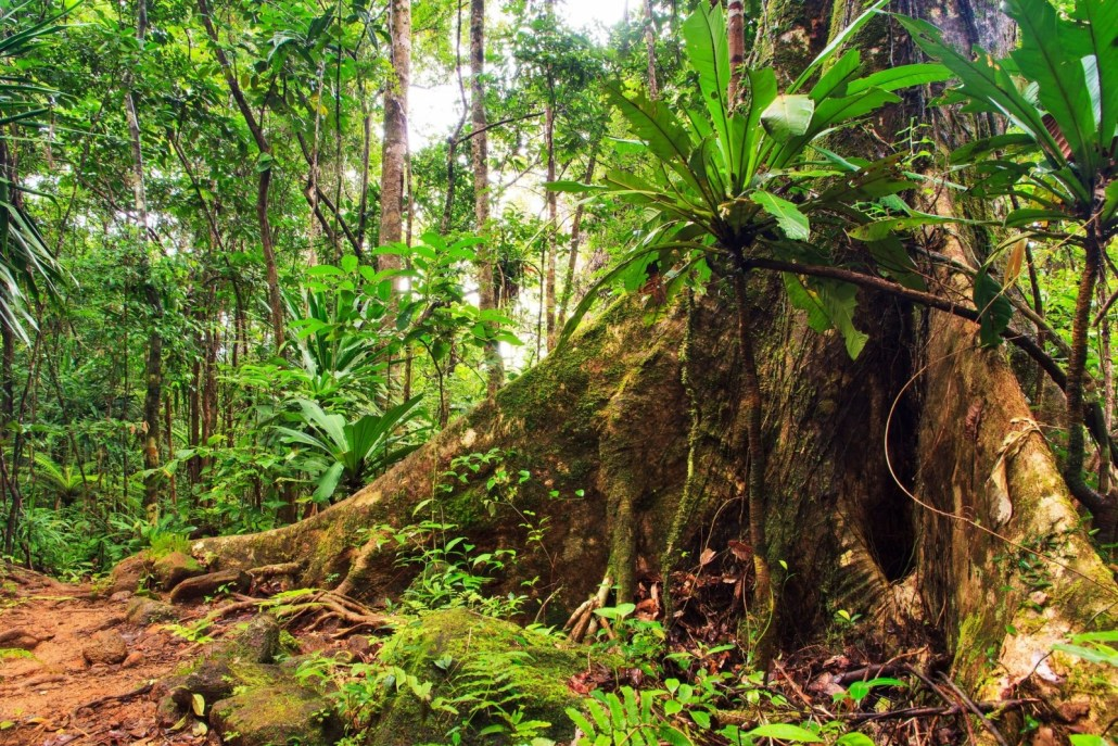 Buttress roots supporting very tall tress in the tropical rainforest.