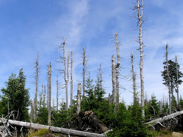 an image showing the negative impact of acid rain on trees