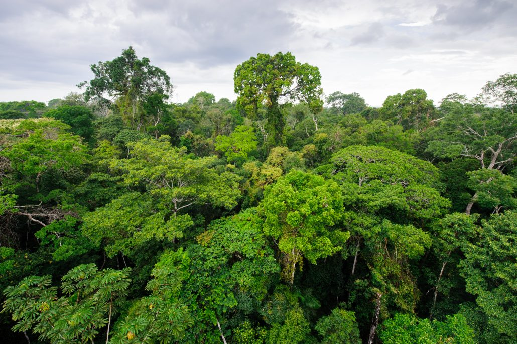Emergents rising from the canopy in the Amazon Rainforest
