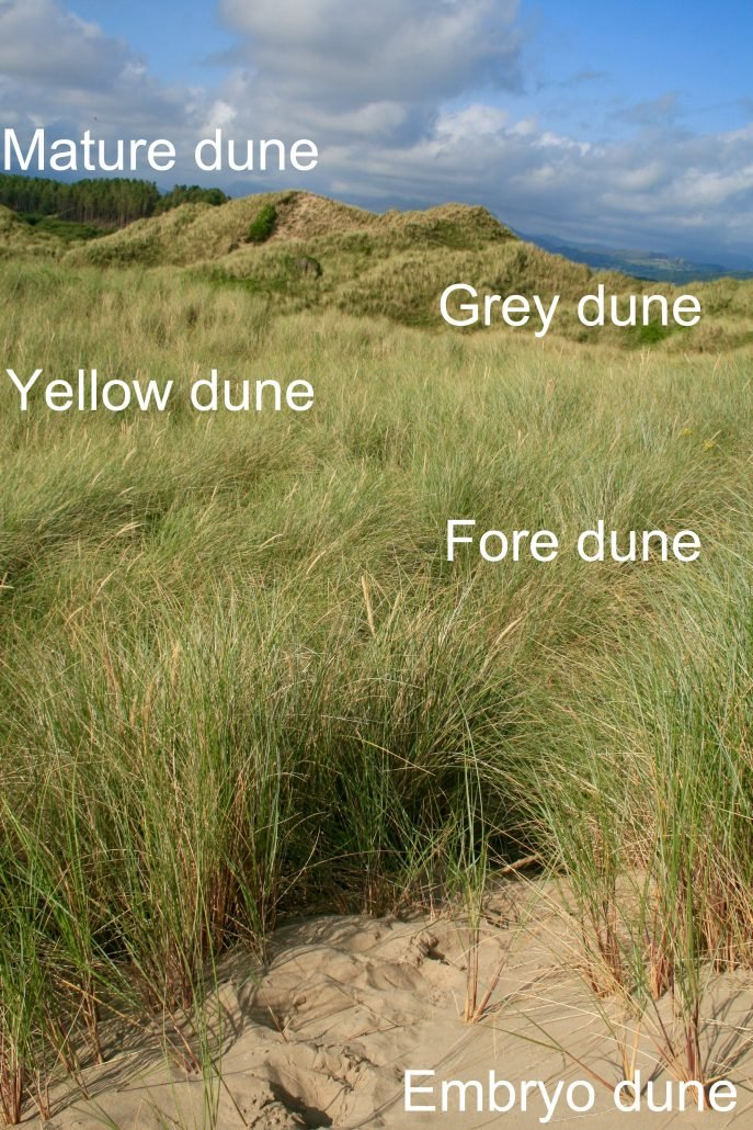 Sand dune vegetation succession