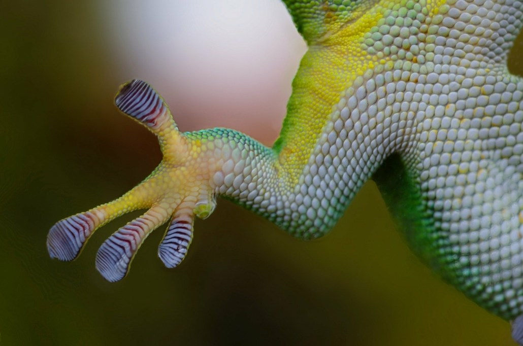 Gecko's flattened toe pads with sticky scales