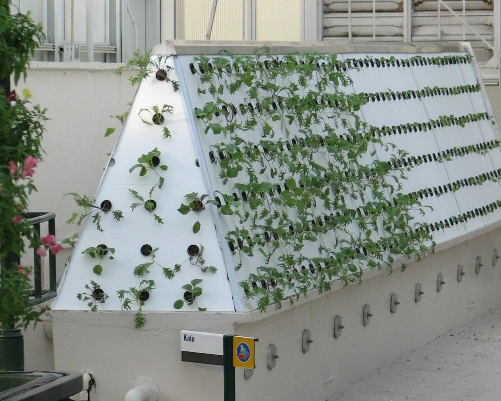 Kale being grown by aeroponics