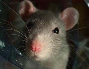 Helmet chewing rat.