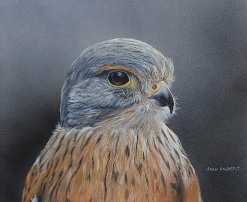kestrel_johnhalbert_bird_artists