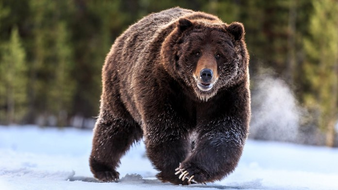 bear by National Geographic Wildlife Photographers