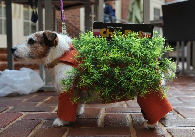 """Bubbles the Jack Russell Terrier is dressed as a chia pet plant during the """"Doggie Howl-o-ween Costume Contest"""""""