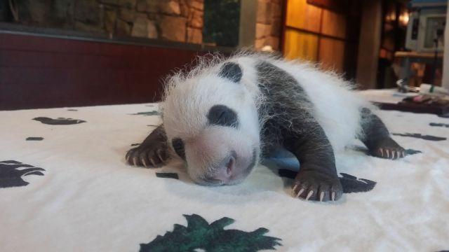 panda animal pictures
