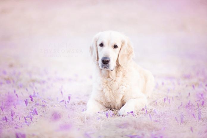 Dog Portraits Photography by Alicja Zmysłowska (1)