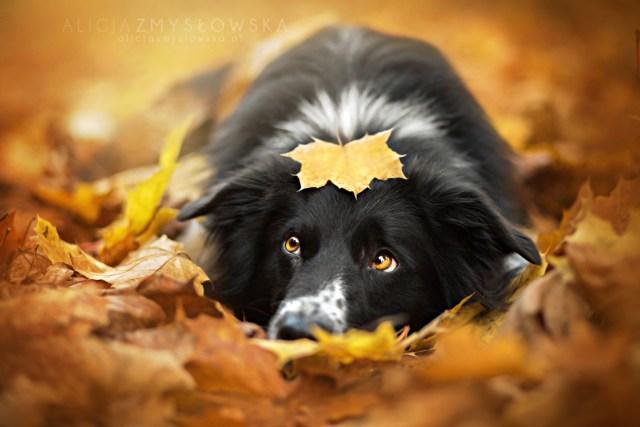 Dog Portraits Photography by Alicja Zmysłowska (2)
