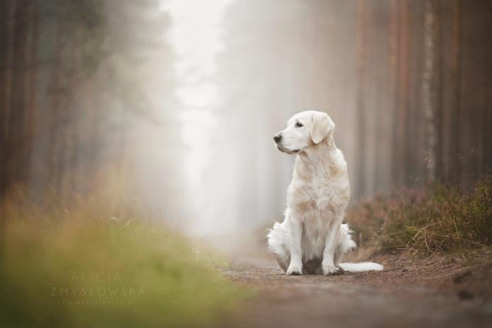 Dog Portraits Photography by Alicja Zmysłowska (3)