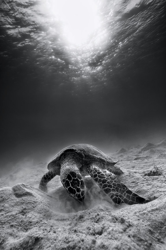 "Grant Thomas B-W Turtle"" by Grantjpthomas"