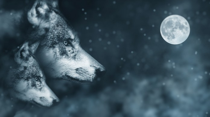 wolf how to make wolf photo manipulations