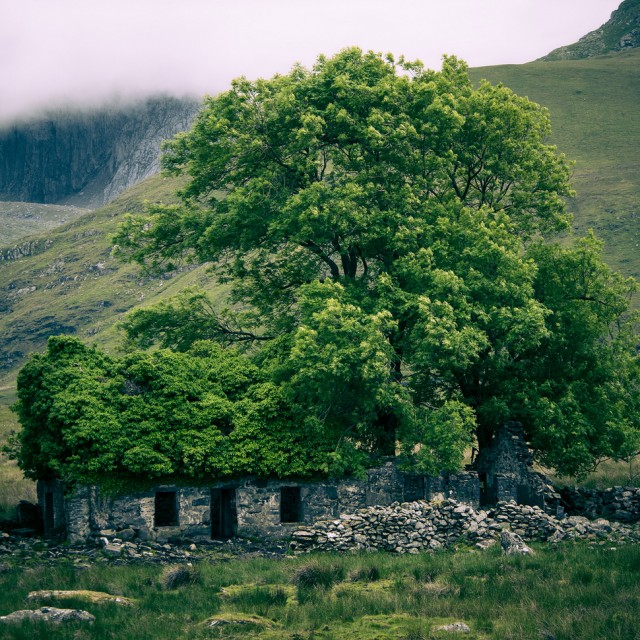 Wales. Abandonded place_The tree sprouts through ancient ruins.