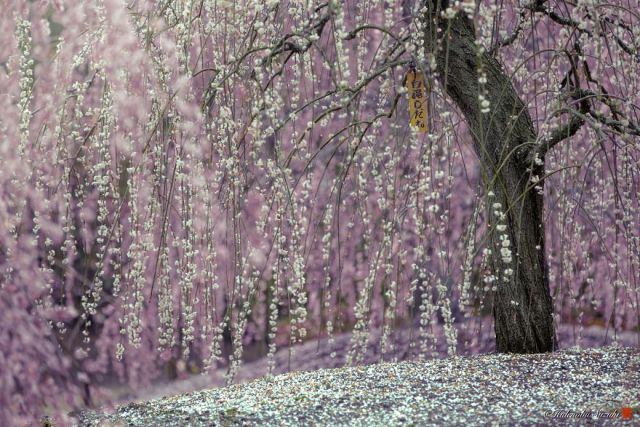 Japanese cherry blossom trees