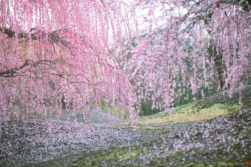 Blooming Sakura by Hidenobu Suzuki (10)