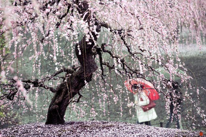 Blooming Sakura by Hidenobu Suzuki (14)