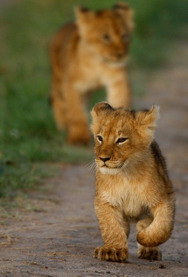 al thani lion