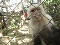 Monkey at La Mariposa.  He grabs us when we walk by if we're not careful.