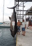 Kona:  Guy Kitaoka caught a monster 1,368 pound blue marlin while fishing for ahi on the 21' skiff Dayna. The boat was captained by Darrell Omori. The fish was caught on an electric reel – so it would be automatically disqualified by IGFA rules - regardless, this was an impressive feat and a huge fish, worthy of attention.