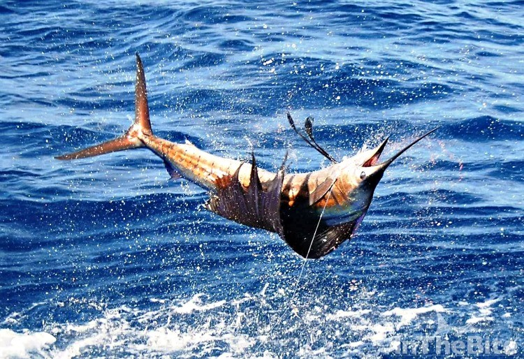 Right side up., upside down... there are lots of sailfish in Costa Rica. Courtesy Bushwacker Charters.
