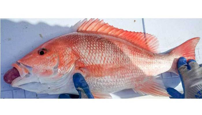 Recreational Anglers Asked To Help With Red Snapper Research