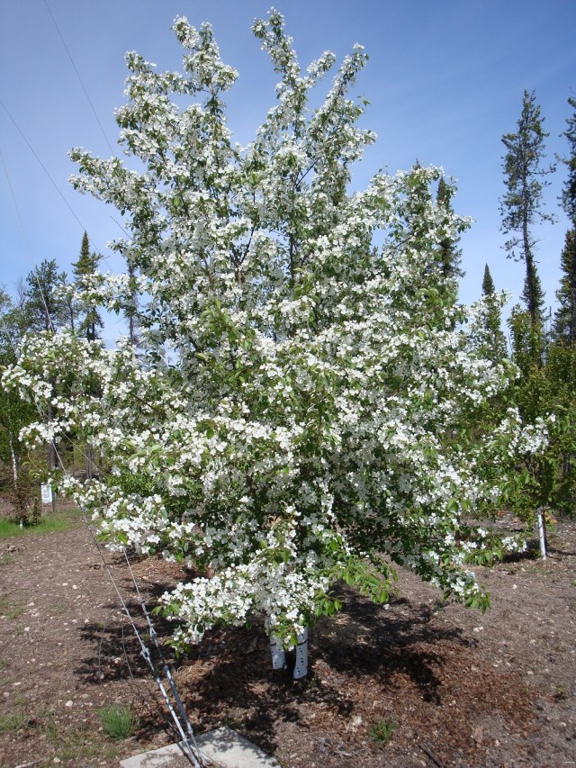 Blooming Apple Tree in Saskatchewan