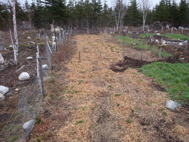 Strawberries Mulched for Winter