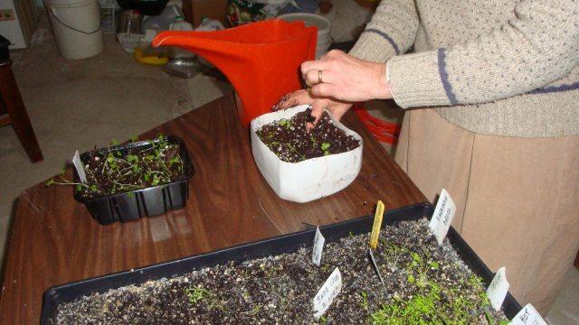Spring Seedlings Being Transplanted