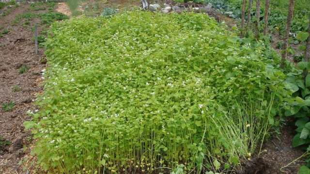 Buckwheat Green Manure