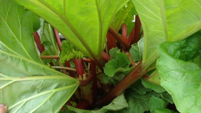 Strong Healthy Rhubarb