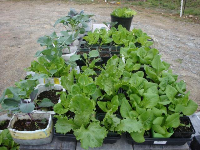Fall Seedlings Waiting For a Home