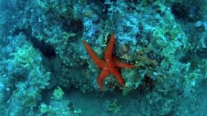 Stella marina rossa - Echinaster sepositus