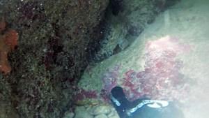 Scorpaena porcus Scorfano nero - intotheblue.it