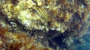 Tordo Verde - Symphodus roissali