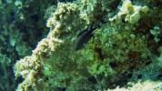 Castagnola Nera - Chromis chromis