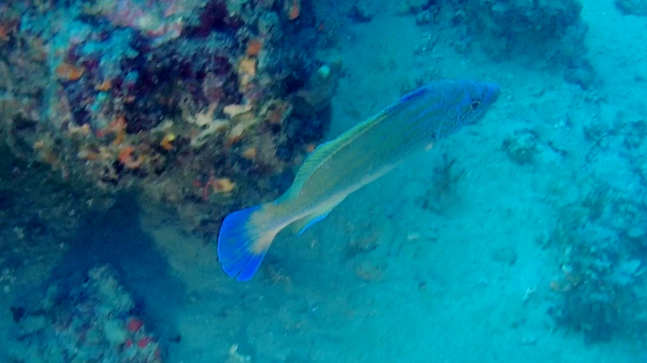 Tordo fischietto maschio - the male of cuckoo wrasse - labrus mixtus - intotheblue.it