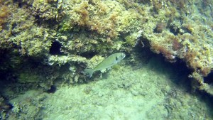 Sparus aurata Orata Snorkeling intotheblue.it