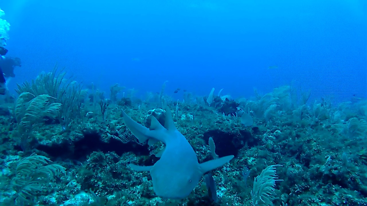 squalo nutrice - nurse shark - intotheblue.it