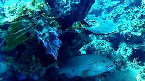 giovane Cernia Gigante atlantica - young Goliath Grouper - intotheblue.it
