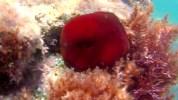 Pomodoro di Mare - Actinia Equina