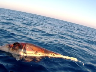 Delfino Morto Al Largo Di Castiglioncello - Dolphin Dead Off The Coast Of Castiglioncello - Tursiops Truncatus - Intotheblue.it