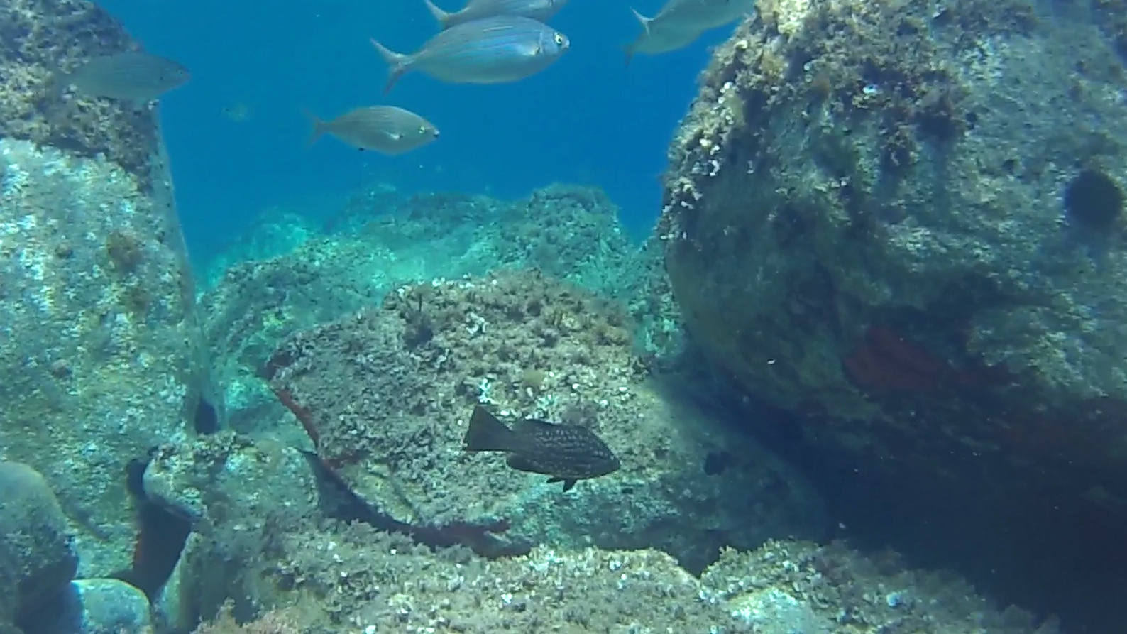 Cernia Dorata Dotto Epinephelus costae Goldblotch grouper intotheblue.it