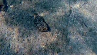 Wide-Eyed Flounder
