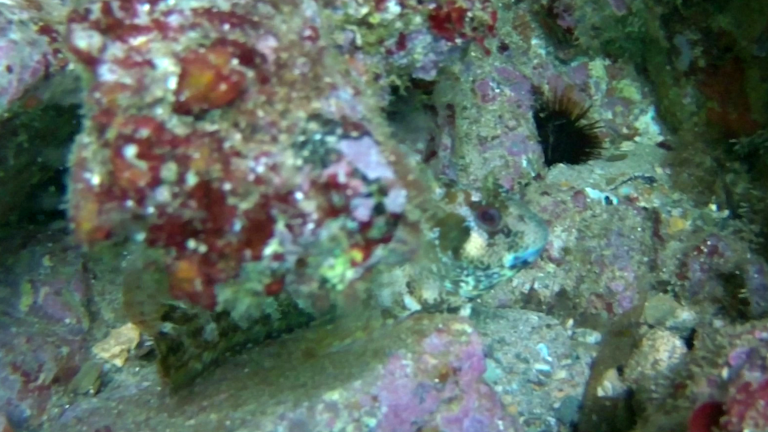 Tentacled Blenny Parablennius tentacularis intotheblue.it