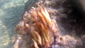 Mucillagine - Oscillatoriales Algae